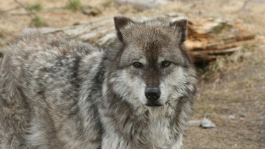 Wolves Are Back at the Center of Controversy