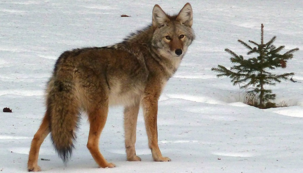 Increased coyote encounters in Boulder, Colorado