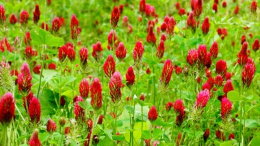 Attract Them with the Best Clover for Deer Plots