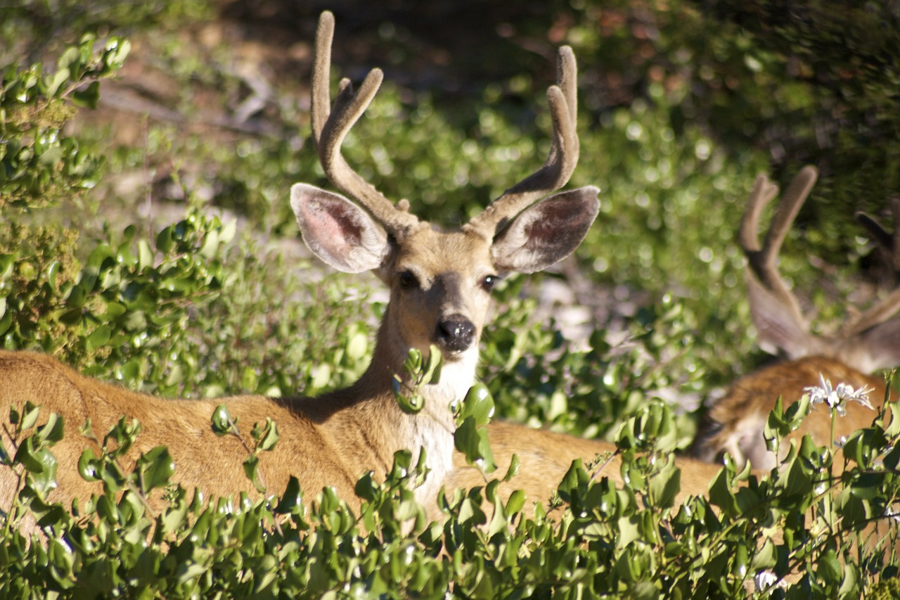 whitetail deer antlers facts