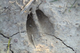 Deer Tracks: Reading and Understanding the Signs