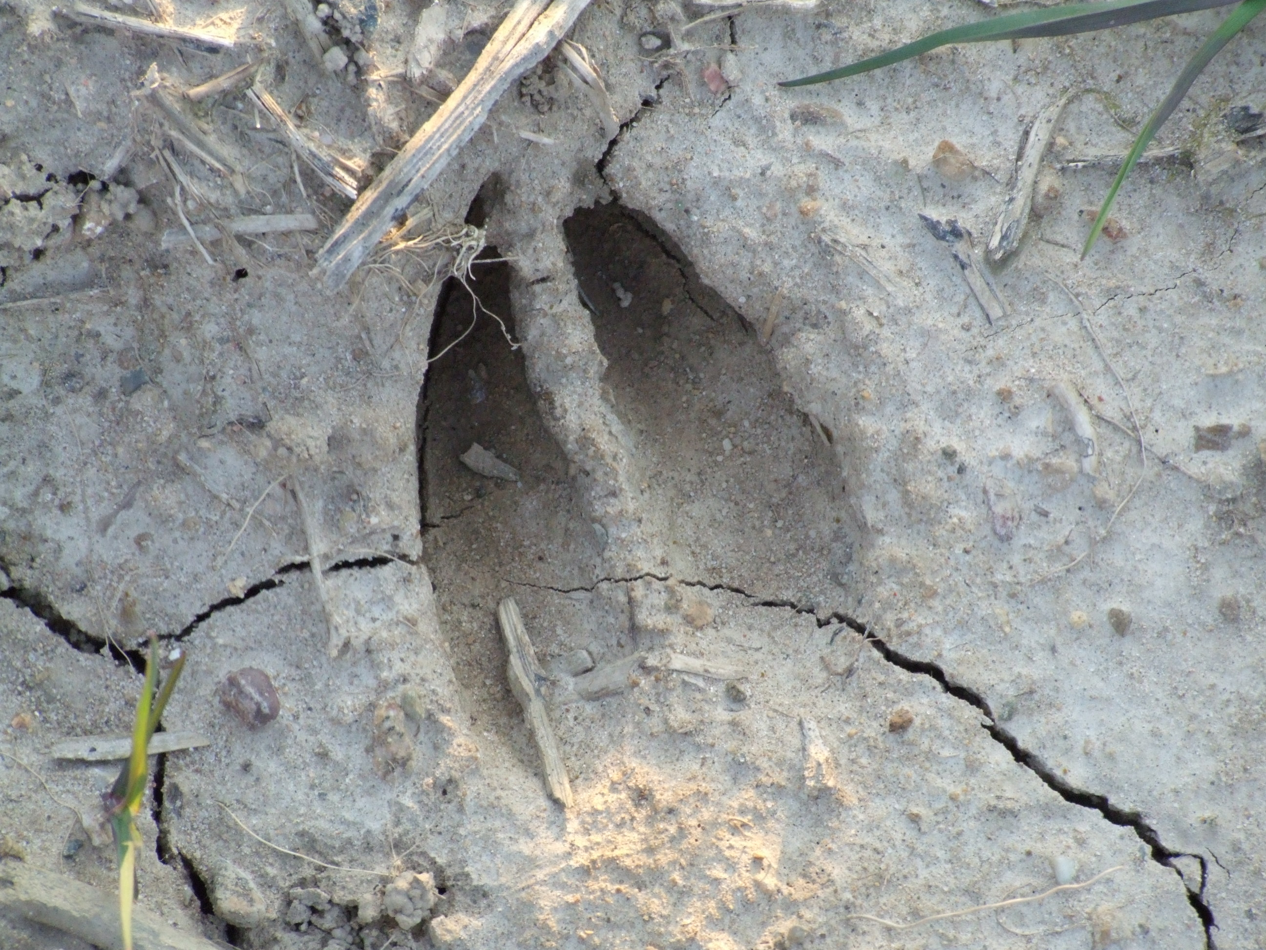 picture of deer tracks