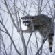 Raccoon Hunting 101: The Complete Guide to Coon Hunting