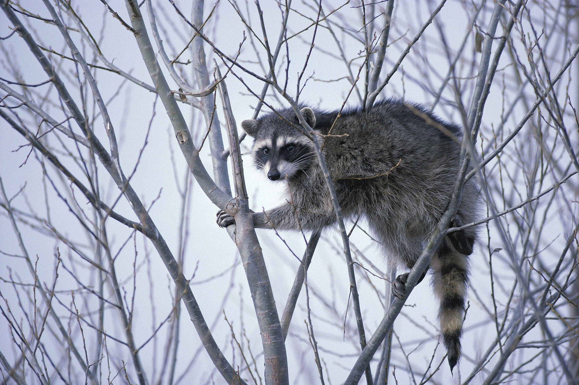 coon hunting 101 raccoon hunting tips and how to hunt these vermin