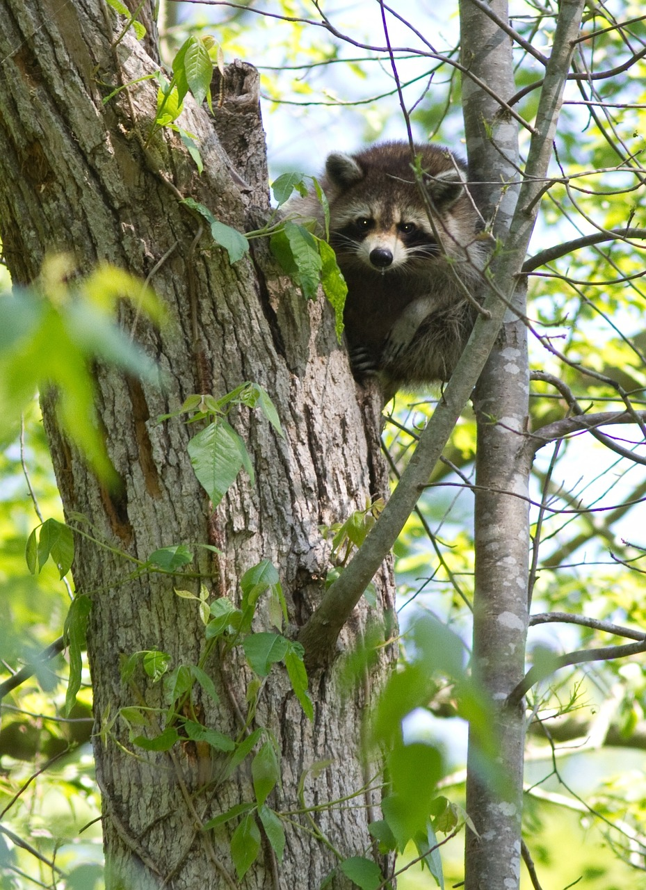 raccoon hunting methods: baying