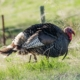 How to Clean a Turkey: Field Dressing & Cleaning a Wild Turkey Before Cooking