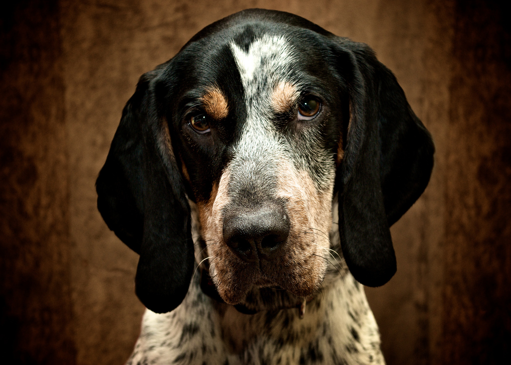 best coon hunting dogs: bluetick coonhound