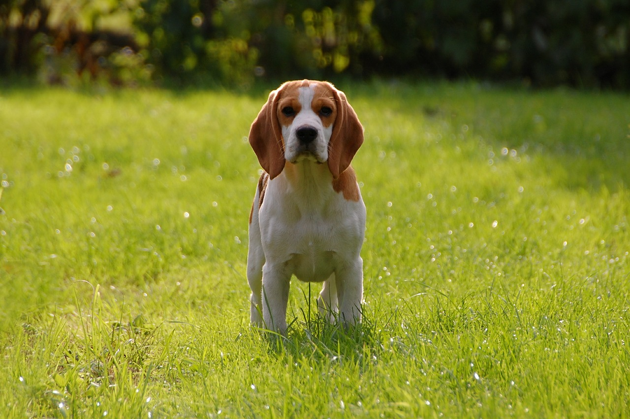 best pheasant hunting dog: beagle