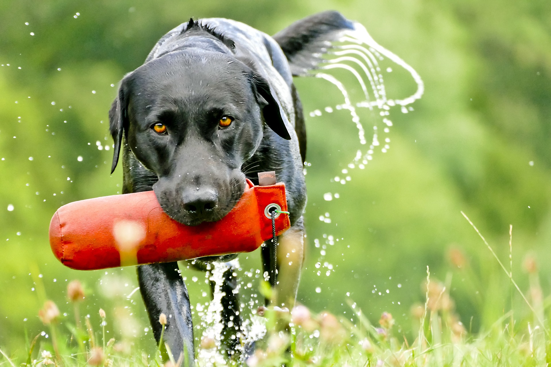 best duck hunting dog: labrador retriever