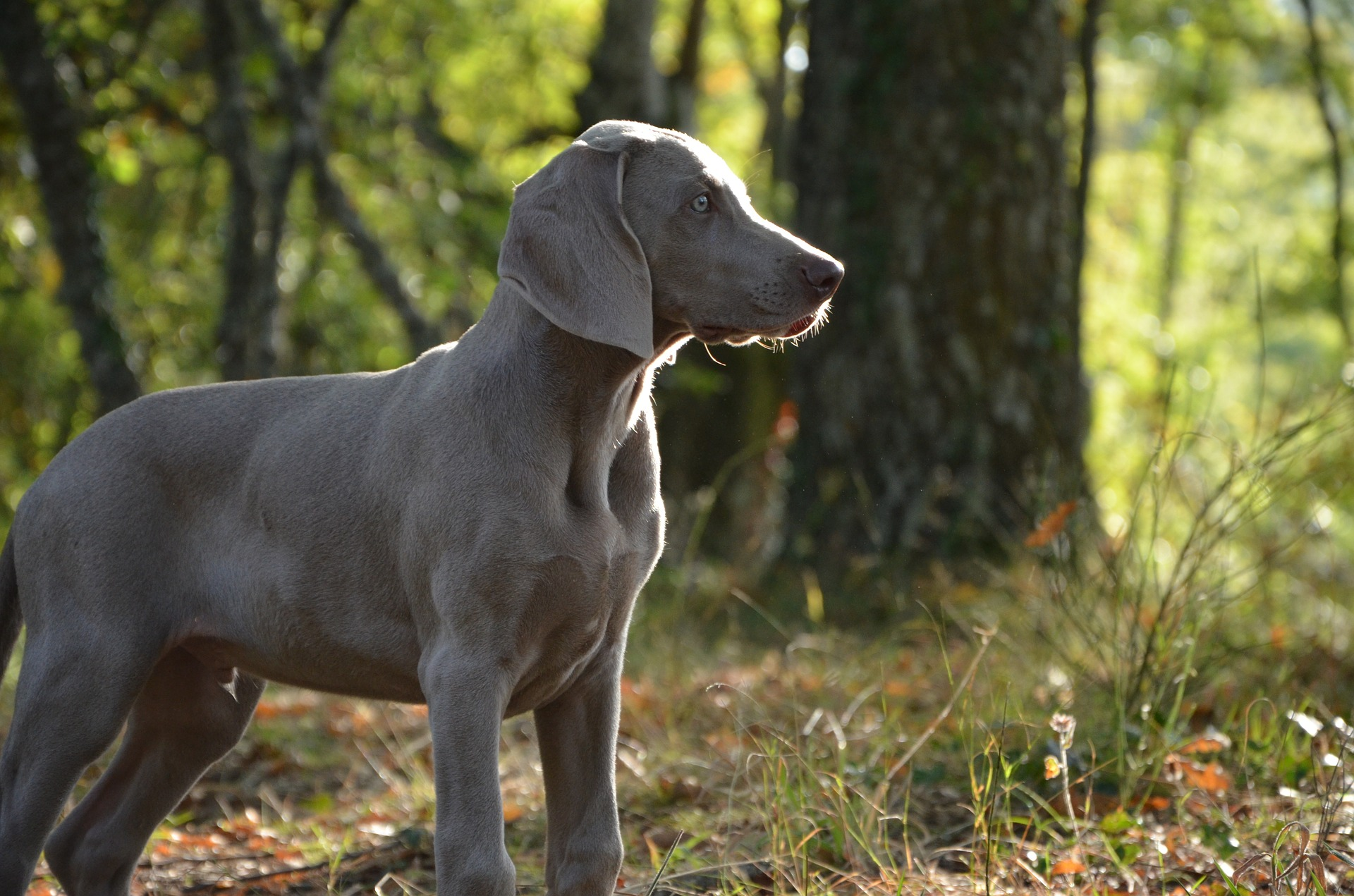best all around gun dog: weimaraner