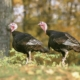 26 Turkey Hunting Tips & Tactics