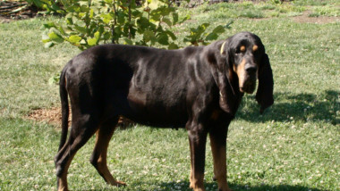 The 6 Best Coon Hunting Dogs: The Perfect CoonHounds