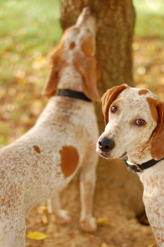 redtick coon aka english coonhound