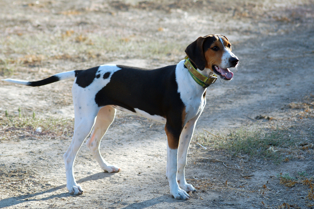 treeing walker coonhound breeds