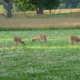 Growing the Best Food Plot for Deer